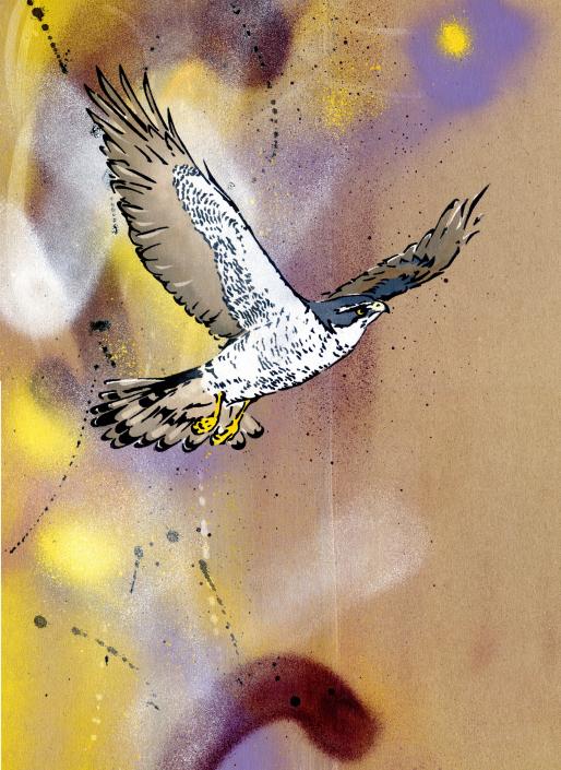 Goshawk in flight 2 on brown