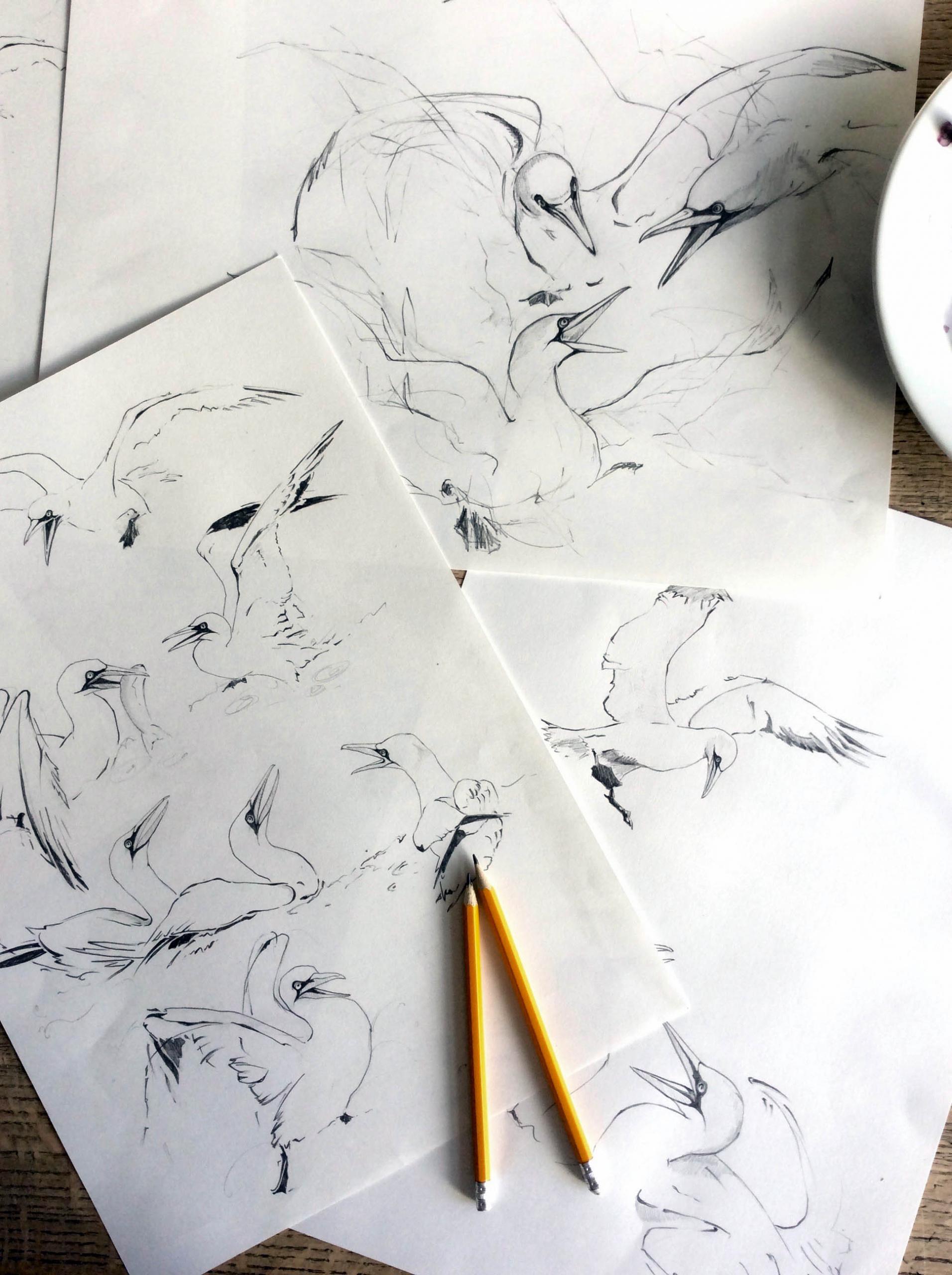 gannet drawings